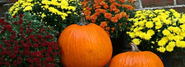 Mums-with-Pumpkins